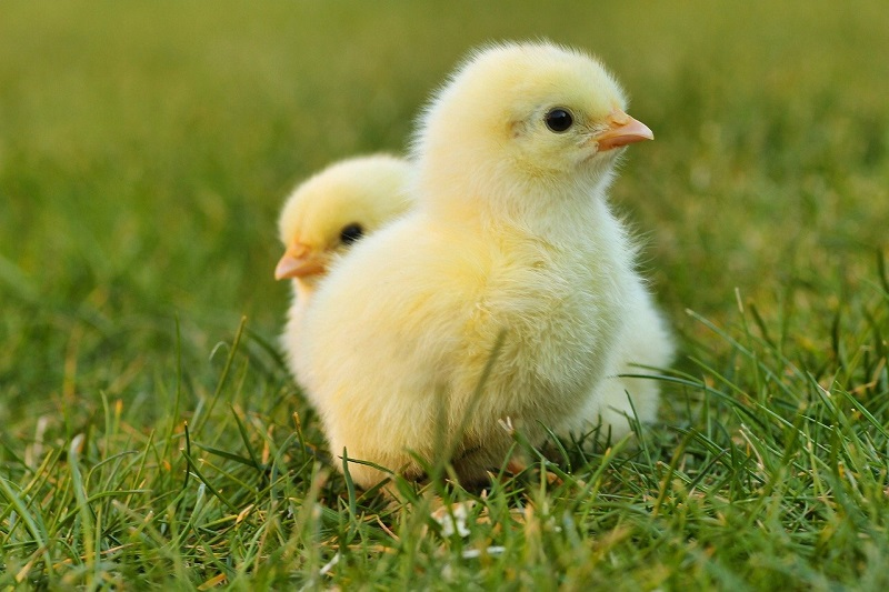 chicks-5014152_1280